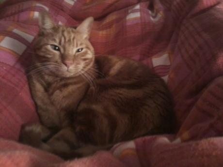 חתול שוכב על שמיכה